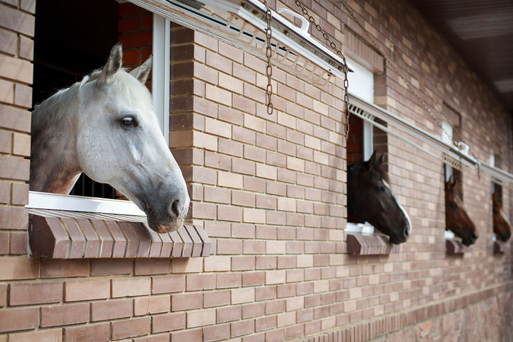 Horses Looking Out of Stable Windows