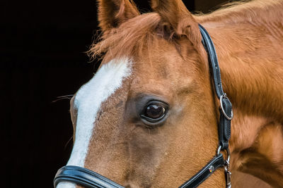 Brown Horse with White Nose