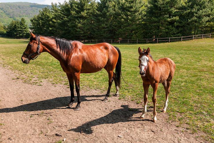 English Thoroughbred Horses